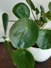 Load image into Gallery viewer, Pilea (Pilea peperomioides)