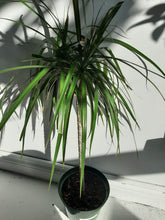 Load image into Gallery viewer, Dracaena marginata