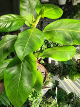 "Load image into Gallery viewer, Ficus altissima ""Yellow Gem"""