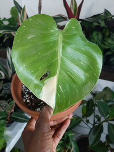 Monstera Thai Constellation