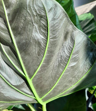 "Load image into Gallery viewer, Alocasia ""Regal Shield"""