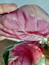 "Load image into Gallery viewer, Calathea roseopicta ""Rosy"""