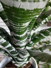 Load image into Gallery viewer, Amazonian Zebra Plant