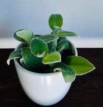 "Load image into Gallery viewer, Tradescantia sillamontana ""White velvet"""