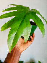 Load image into Gallery viewer, Philodendron tahiti