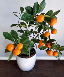 Calamondin miniature orange tree