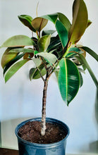 "Load image into Gallery viewer, 10"" ficus elastica tree ""burgundy"""