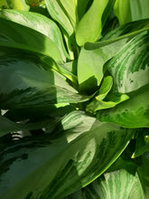 Load image into Gallery viewer, Aglaonema silver bay