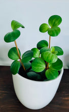 Load image into Gallery viewer, Peperomia hope