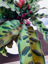 "Load image into Gallery viewer, Calathea Lancifolia ""Rattlesnake"""