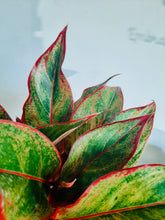 Load image into Gallery viewer, Aglaonema