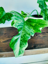 Load image into Gallery viewer, Philodendron minarum