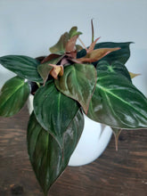 Load image into Gallery viewer, Philodendron micans