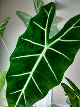 Load image into Gallery viewer, Alocasia micholitziana 'Frydek'