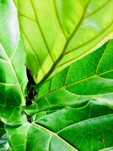 Load image into Gallery viewer, Large Fiddle leaf fig