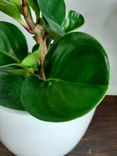 Load image into Gallery viewer, Peperomia obtusifolia
