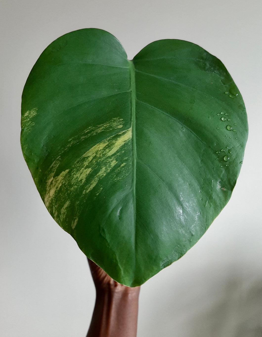 Monstera Aurea (yellow variegated)