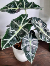 "Load image into Gallery viewer, Alocasia amazonica ""polly"""