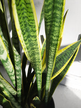 "Load image into Gallery viewer, 10"" xlarge snake plants"