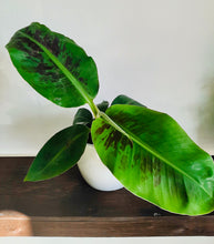 Load image into Gallery viewer, Red Leaf Banana Plant