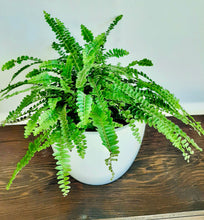 Load image into Gallery viewer, Lemon button fern