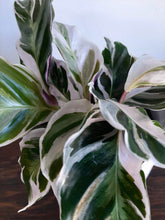 Load image into Gallery viewer, Calathea white fusion