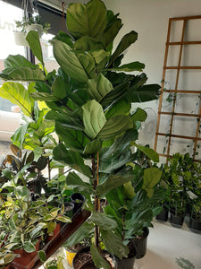 Large Fiddle leaf fig