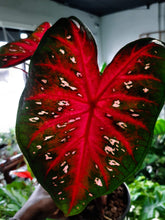 "Load image into Gallery viewer, Caladium ""Red Flash"""