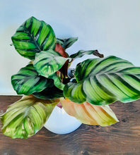 Load image into Gallery viewer, Calathea Fasciata