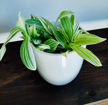 Load image into Gallery viewer, Tradescantia Quicksilver