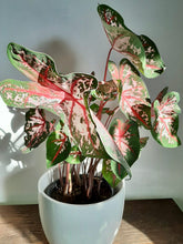 Load image into Gallery viewer, Caladium Carolyn Whorton