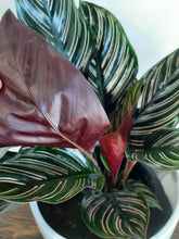 "Load image into Gallery viewer, Calathea Ornata ""Pinstripe"""