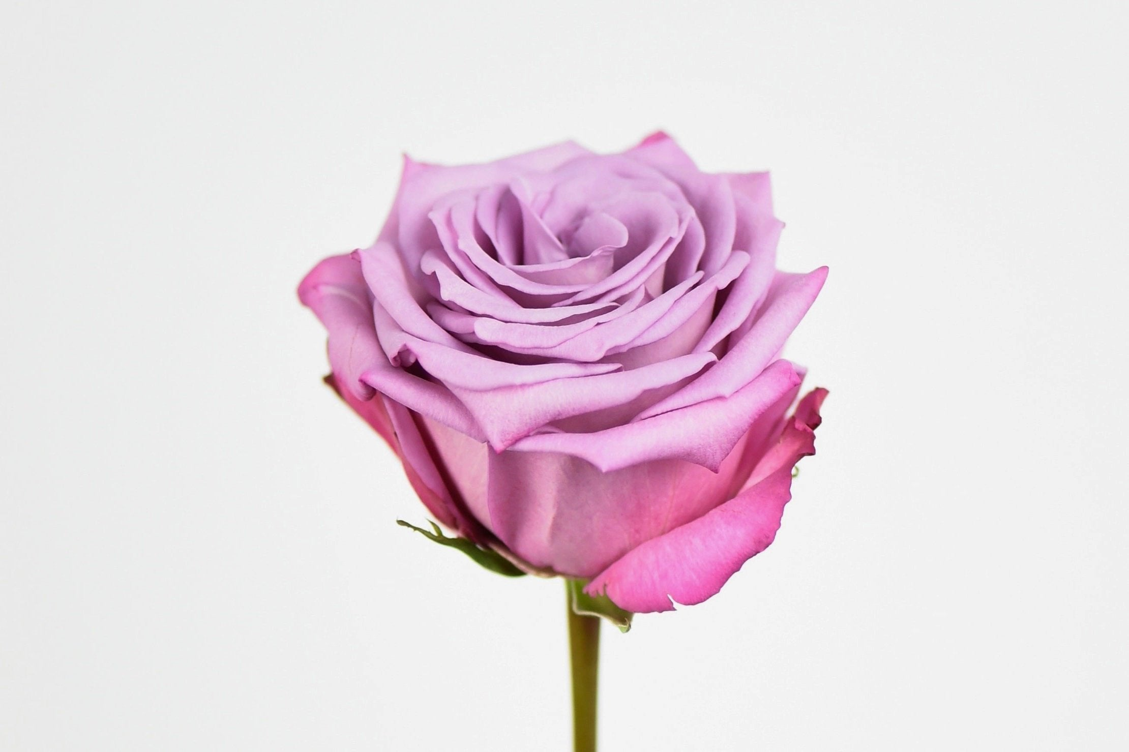 Lavender Long Stem Rose, Side View
