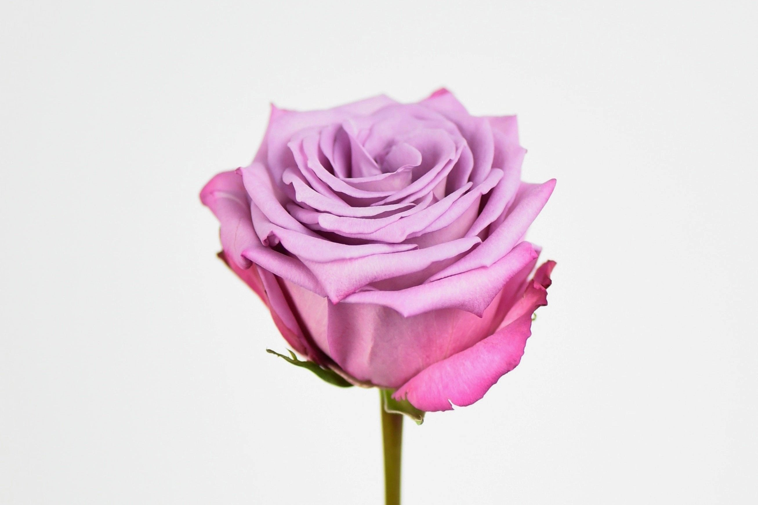 Luxury Ecuadorian Long Stem Lavender Rose