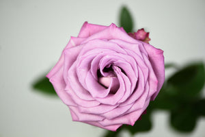 Lavender Long Stem Rose, Overhead Blossom View