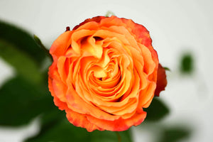 Orange Long Stem Rose, Overhead Blossom View