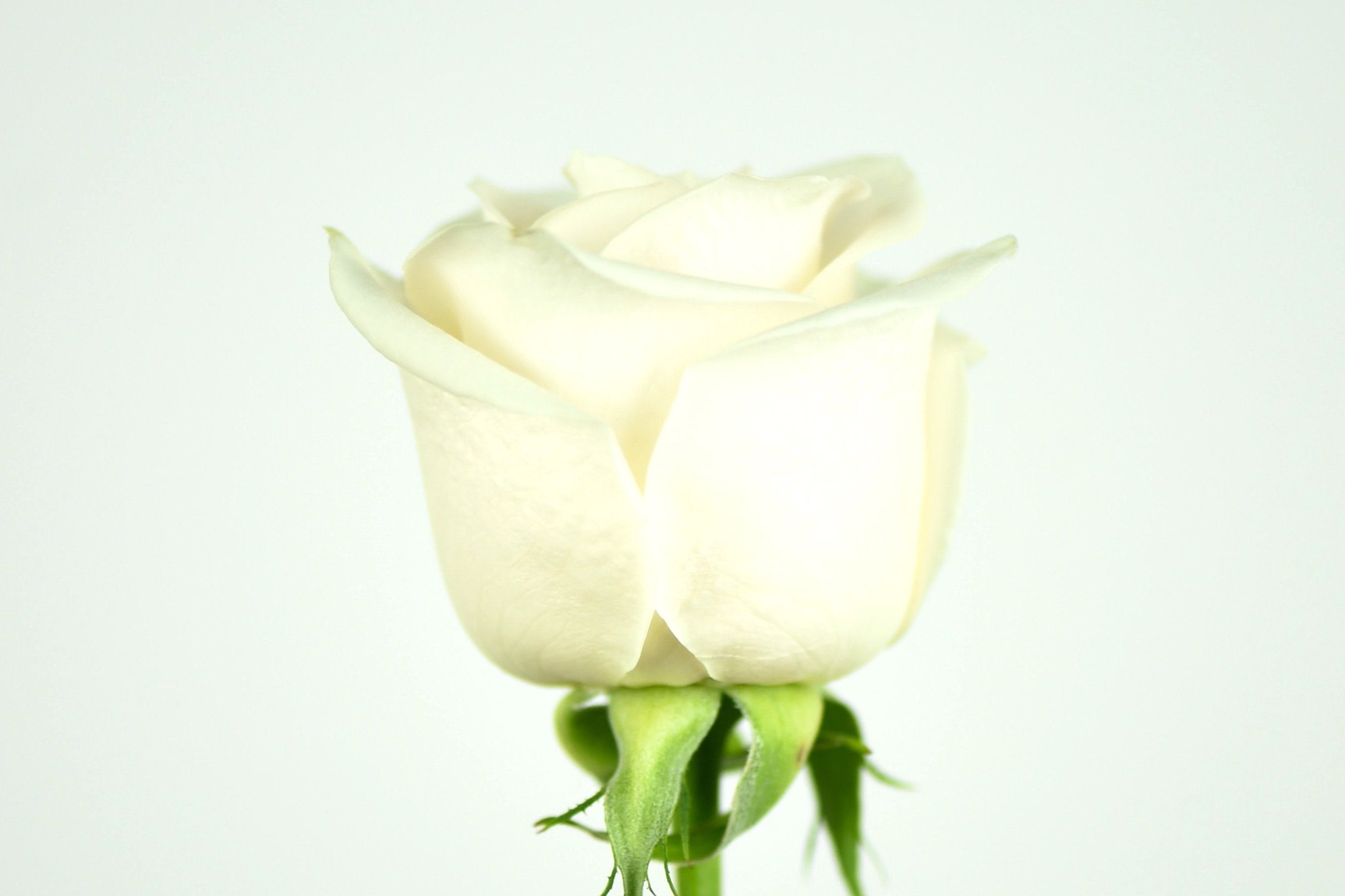 Luxury Ecuadorian Long Stem White Rose