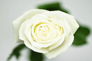 White Long Stem Rose, Overhead Blossom View
