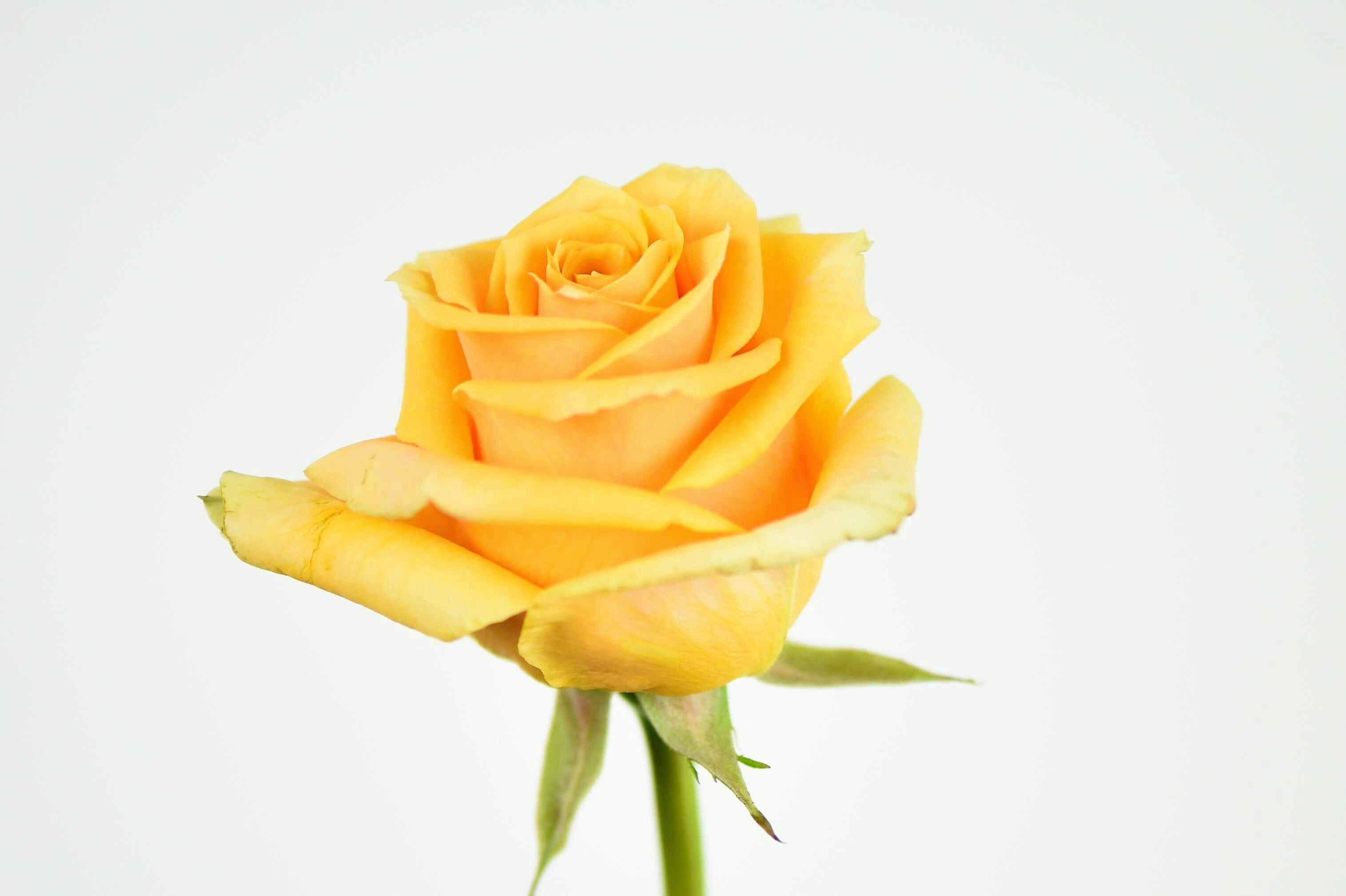 Luxury Ecuadorian Long Stem Yellow Rose