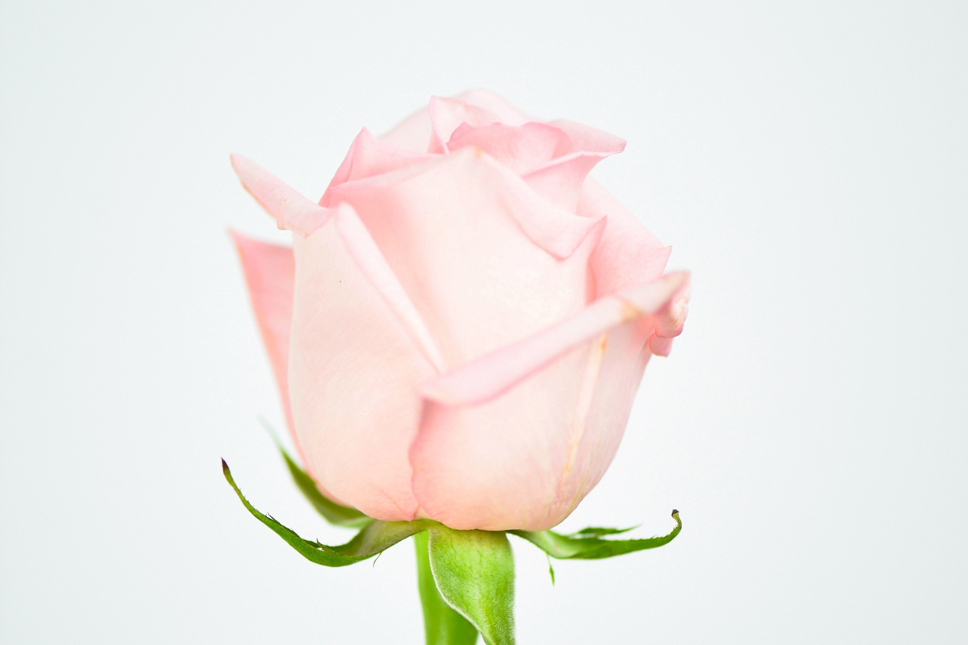 Luxury Ecuadorian Long Stem Light Pink Rose