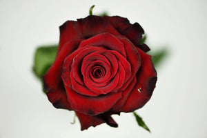 Luxury Ecuadorian Long Stem Red Rose