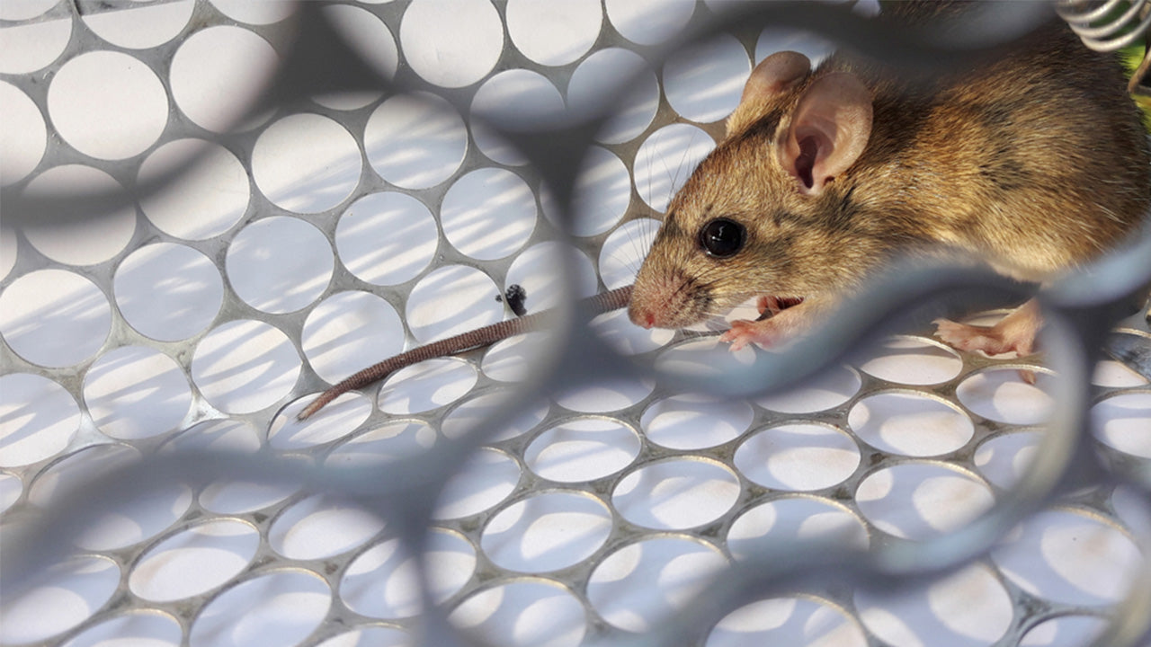 Hantavirus can be transmitted by rats