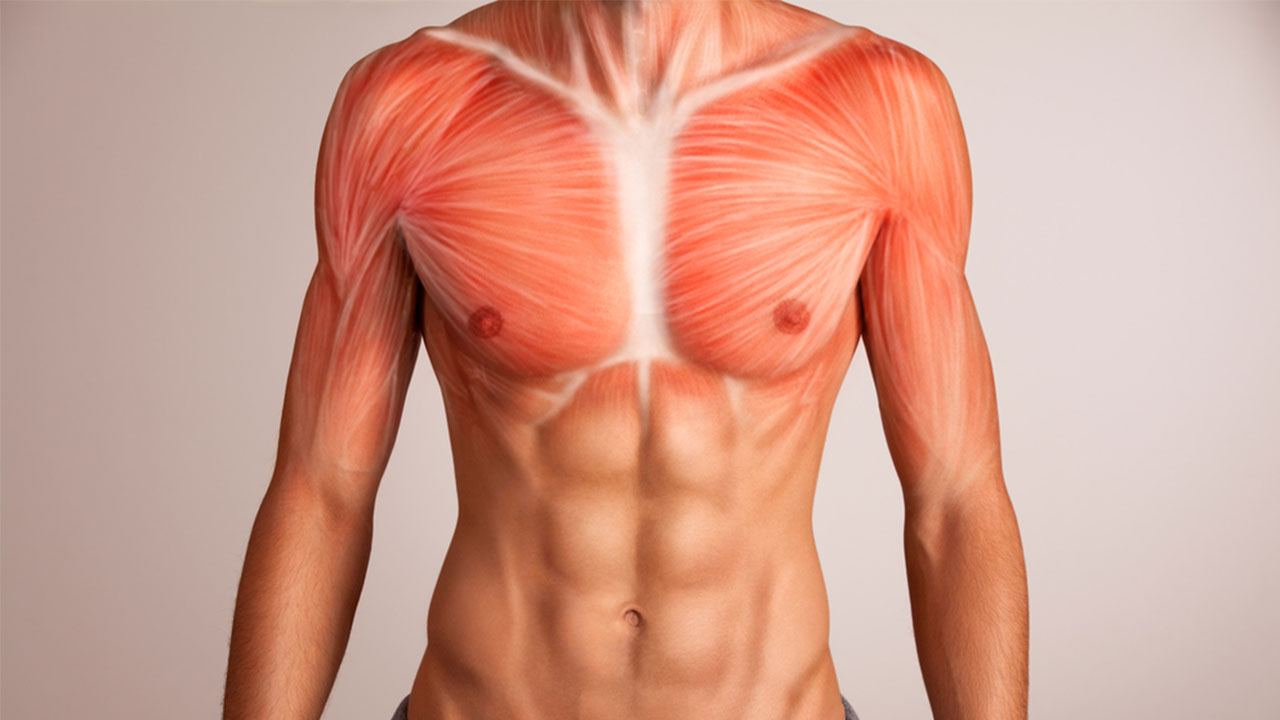 3d illustration of chest muscle