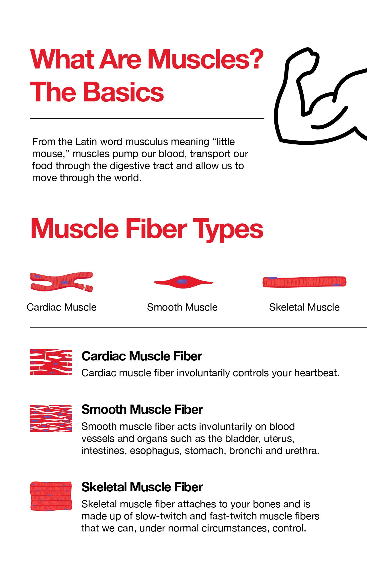 What Are Muscles? The Basics