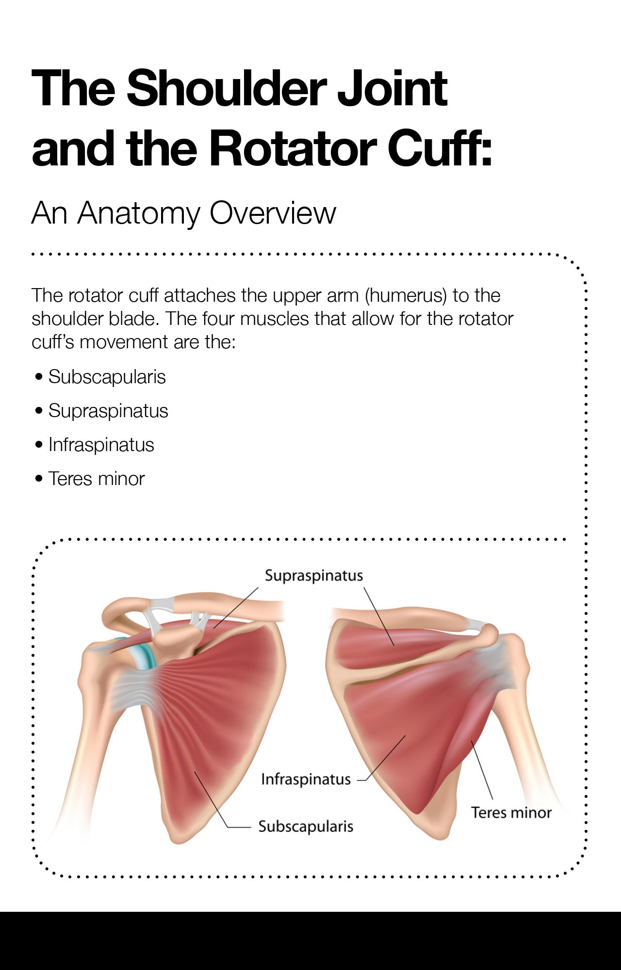 The Shoulder Joint and the Rotator Cuff: An Anatomy Overview