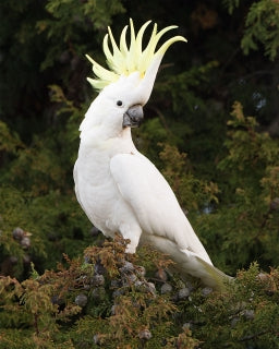 Acrylic Brooch - Sulphur-Crested Cockatoo and the Waratah