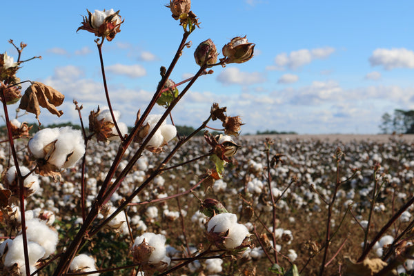 Field of super soft sustainable cotton
