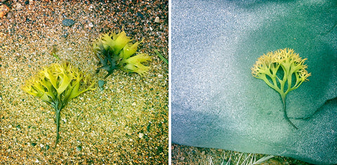 Sea Greens Diptych