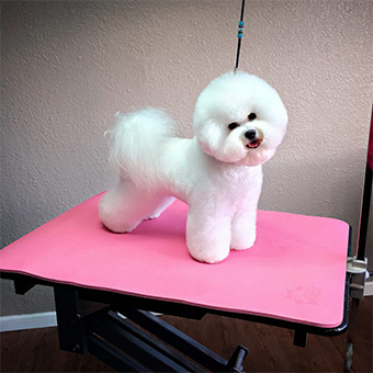 Bichon Frise Dog on a Pretty in Pink PawMat Table Mat