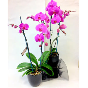 potted mauve orchid